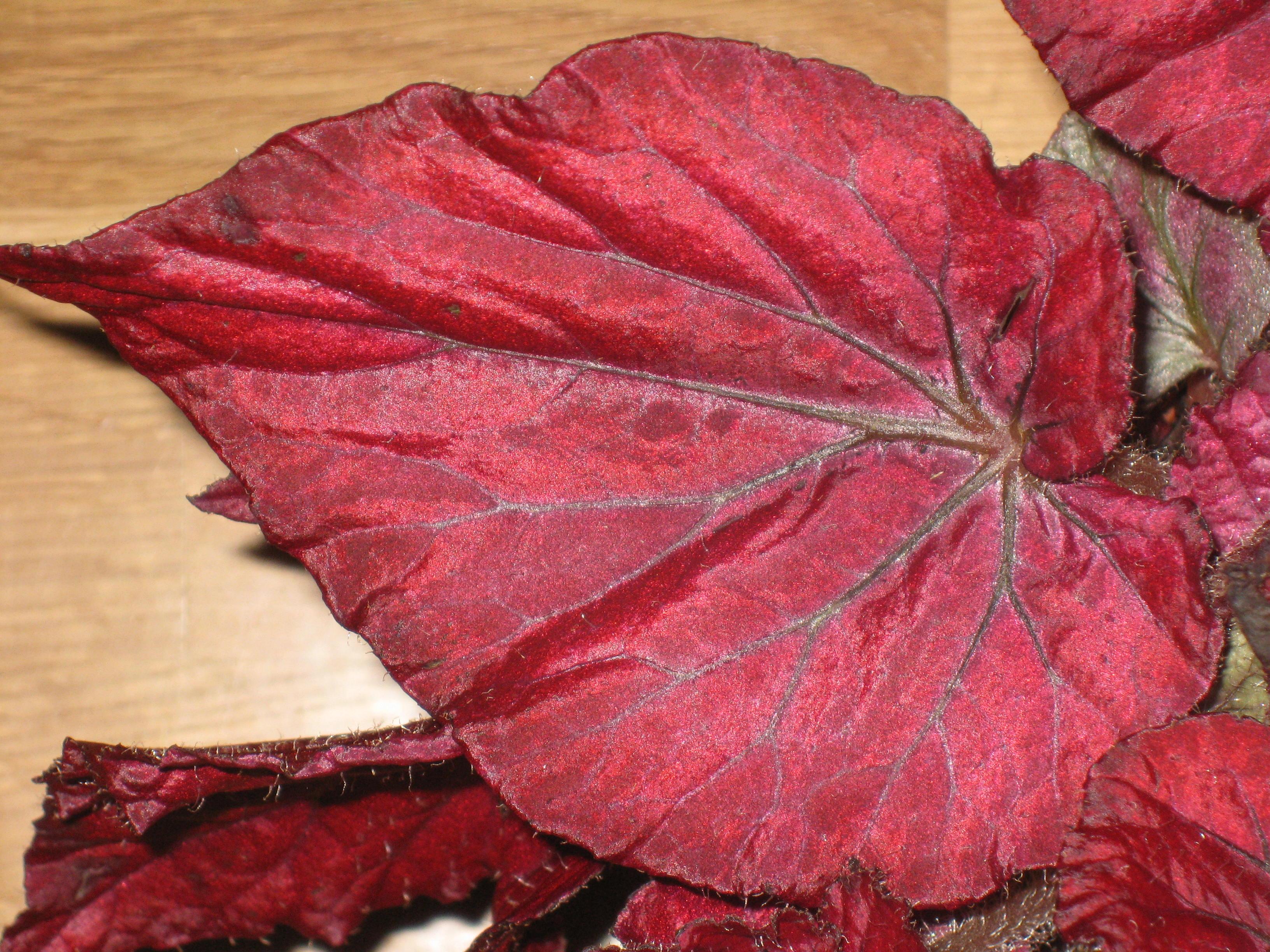Декоративно-лиственная бегония уход и размножение