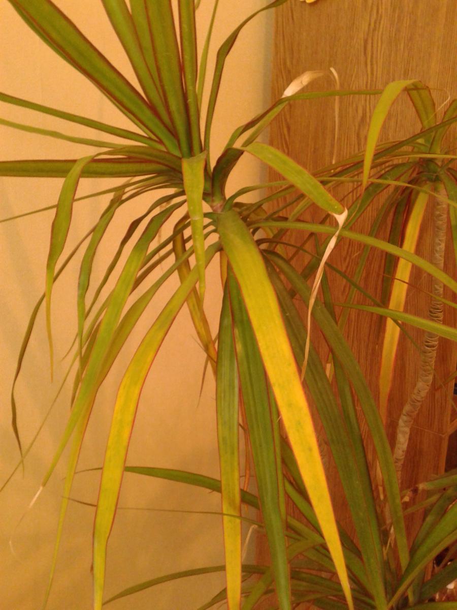 почему циперус не растет желтеют листья изменения расчетах пособий